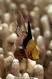 Cardinalfish